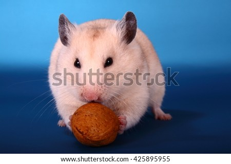 Syrian hamster eating a walnut - stock photo