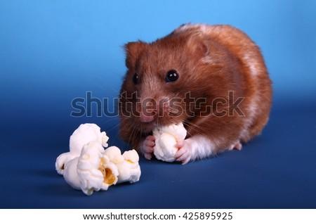 Syrian hamster eating popcorn - stock photo