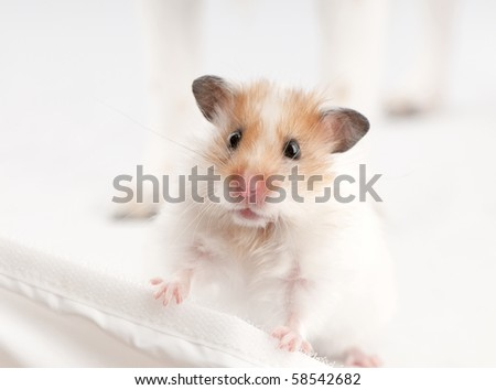 syrian hamster standing above white background