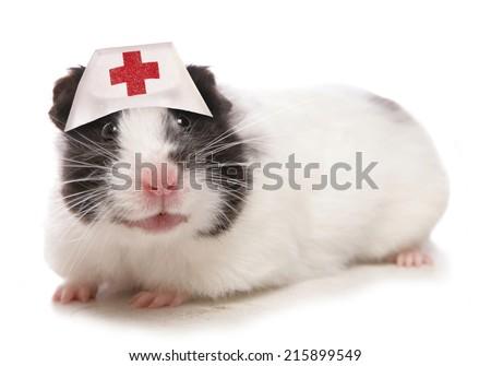 Syrian Hamster wearing nurses hat - stock photo