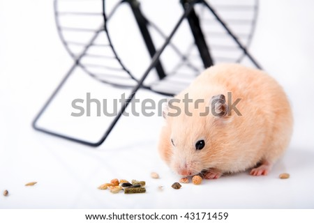 Syrian hamster with white background eats - stock photo