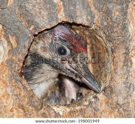 Syrian Woodpecker baby in the nest  (Dendrocopos syriacus) - stock photo