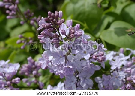 Syringa in spring - stock photo