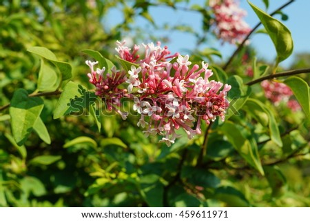 Syringa microphylla  'Superba' - blooming lilac flower - stock photo