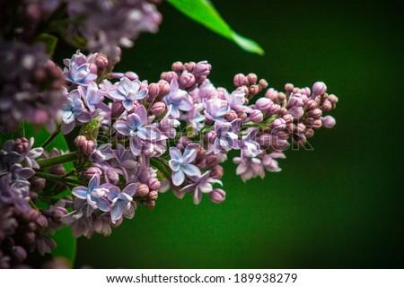 Syringa vulgaris - stock photo