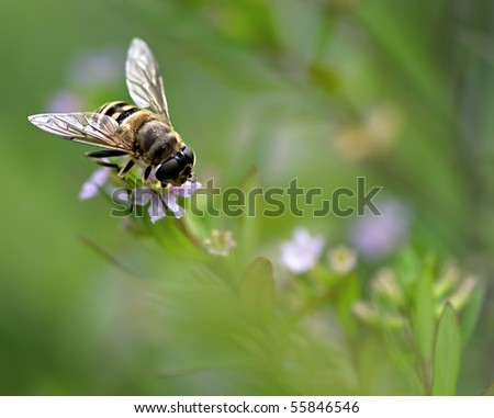 syrphid on flower