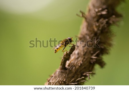 Syrphida insect on a small branch with natural background