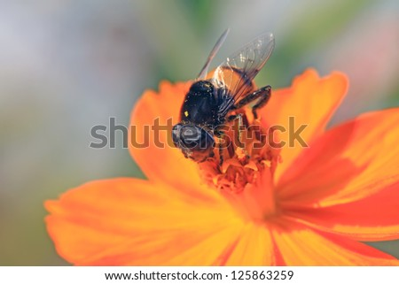 syrphidae gather nectar from flowers in the wild
