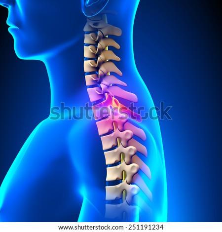 T1 Disc Thoracic Spine Anatomy Stock Illustration 251191234