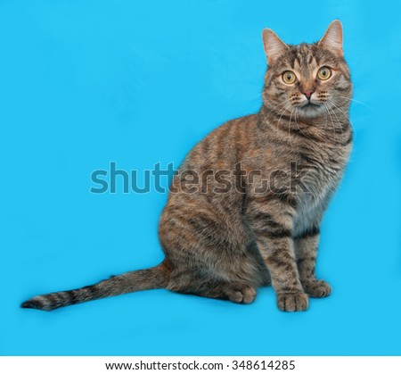 Tabby and red cat sitting on blue background