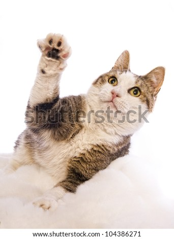 Tabby and white cat paw up isolated on white background