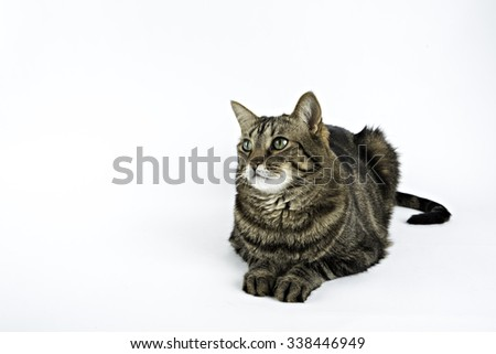 Tabby can isolated on white