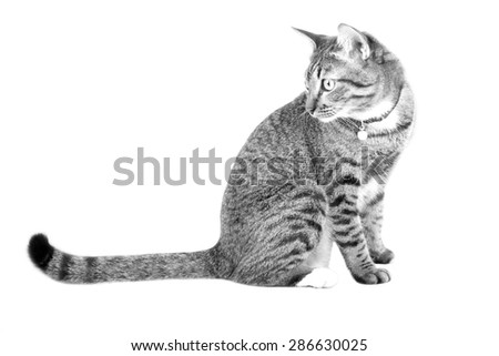 Tabby cat blurry sitting with look back in black and white - stock photo