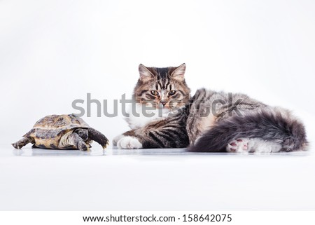 tabby cat. Cat and turtle - stock photo