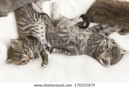 tabby cat child cuddling on a white blanket, a heap of cat is cuddly babies on their mother - stock photo