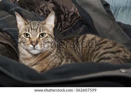 Tabby cat claims her spot in a winter coat left on a chair - stock photo