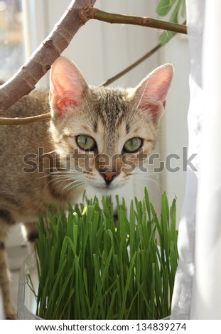 Tabby cat eating grass at home