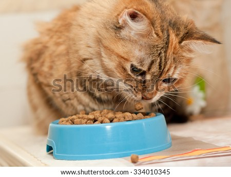 Tabby Cat eats dry cat food from blue bowl - stock photo