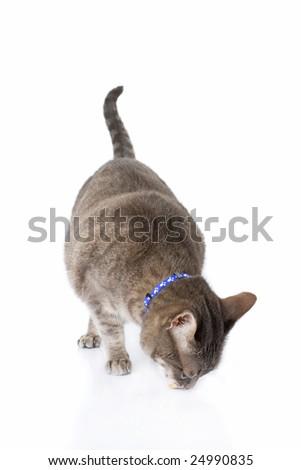Tabby cat feeding isolated on white background - stock photo
