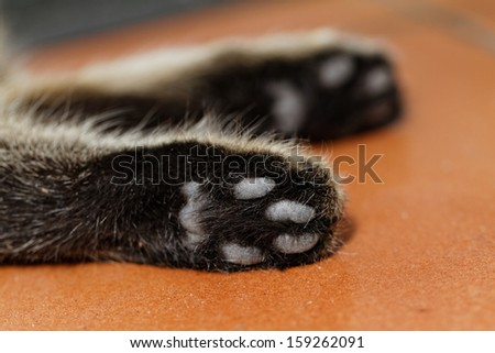 Tabby cat feet close-up