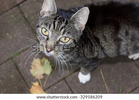 Tabby cat gray striped domestic animal