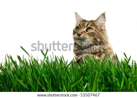 Tabby cat in grass isolated on white background - stock photo