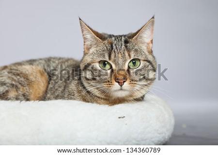 Tabby cat in white basket. Studio shot against grey. - stock photo
