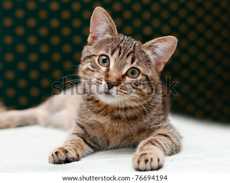 Tabby Cat laying and Looks with interest - stock photo