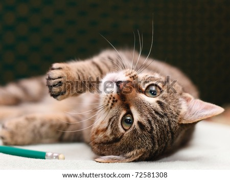 Tabby Cat laying on side looking into camera - stock photo