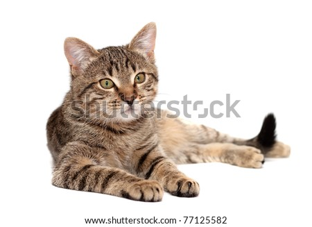 Tabby cat lies on white background - stock photo