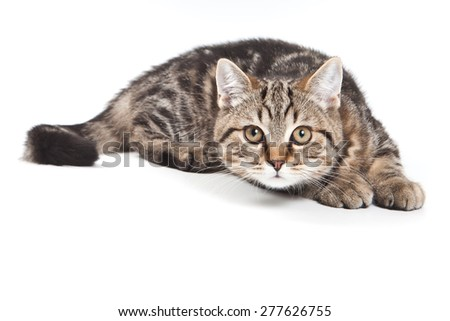 tabby cat  looking at the camera (isolated on white) - stock photo