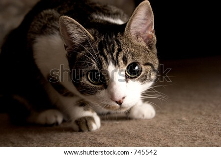 Tabby cat looking curious - stock photo