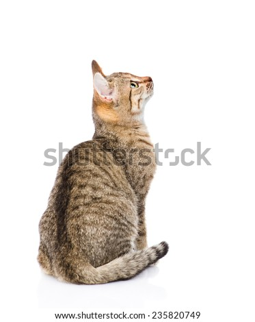 tabby cat looking up. isolated on white background - stock photo