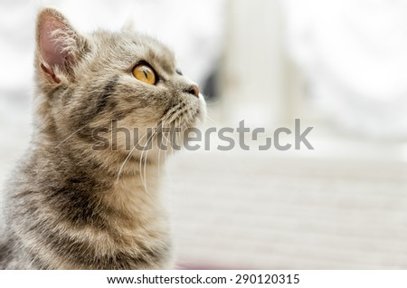 Tabby cat looking up with white background - stock photo