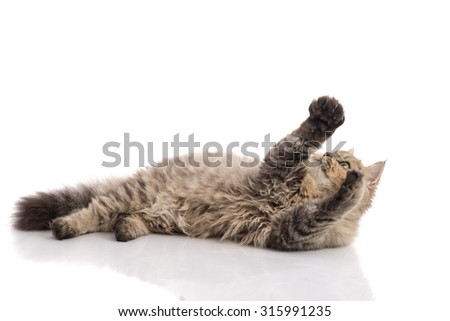 Tabby cat lying and catching on white background,isolated - stock photo