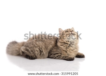 Tabby cat lying and look up on white background,isolated