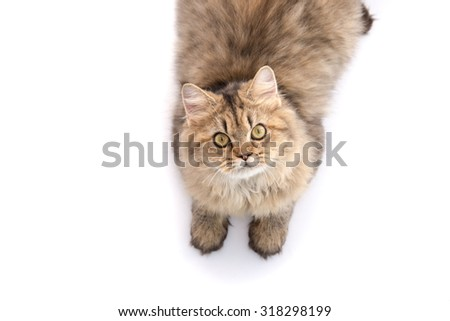 Tabby cat lying and looking up on white background,isolated - stock photo