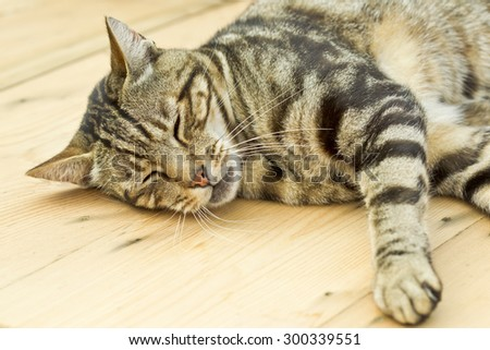 tabby cat lying and sleeping on a wooden table in the sun