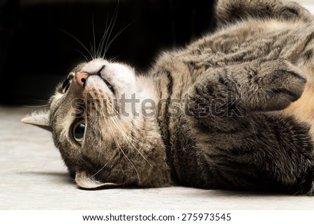 Tabby Cat Lying Down and Looking Up with Ear Folded - stock photo