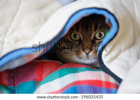 Tabby cat lying under the coloured quilt with eyes wide open - stock photo