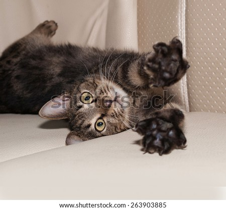 Tabby cat playing on gray leather sofa - stock photo