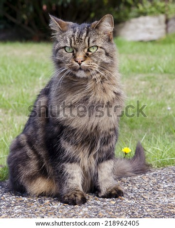 Tabby cat sitting on a path in garden.