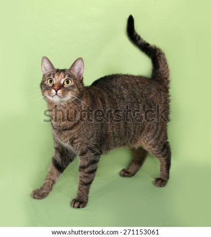 Tabby cat standing on green background - stock photo