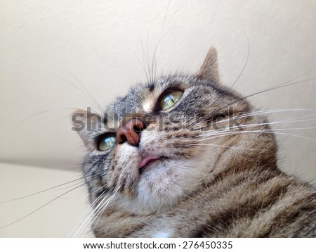 Tabby cat sticking out her tongue.  - stock photo