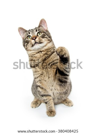 Tabby cat swinging its paw isolated on white background