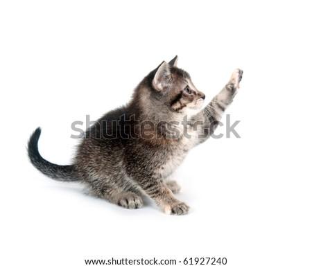 tabby cat swinging its paw on white background - stock photo