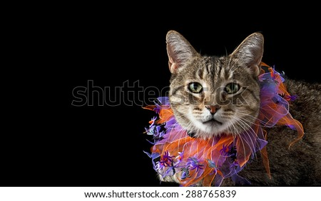 Tabby Cat wearing Orange and Purple Halloween Collar Isolated on Black.