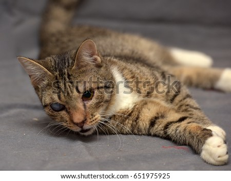 Tabby cat with cataracts in the eye on a gray background.