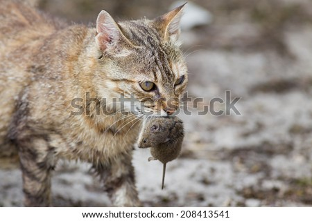 Tabby cat with dangerous look holding prey in teeth - stock photo