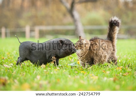 Tabby cat with mini piggy in the yard - stock photo